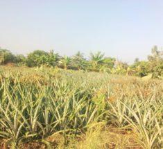 Agriculture : Yawo AYITE, le jeune qui perce dans la production de l'ananas